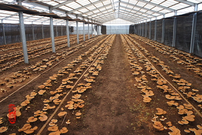 reishi cultivation greenhouse